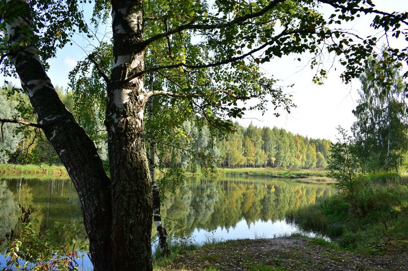 In the forest wonderful pond, as a mirror oval. White-trunked birches are rimmed. Willow weeping closer to the water begging royalty free stock photo