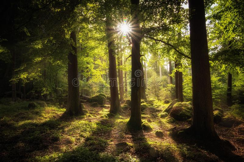 Forest, Woodland, Nature, Ecosystem royalty free stock image