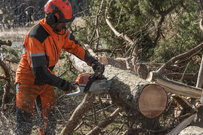 Forest worker cutting a tree with a chainsaw. Forest worker cutting a lying tree with a chainsaw. Stockholm archipelago, Sweden. Europe royalty free stock photos