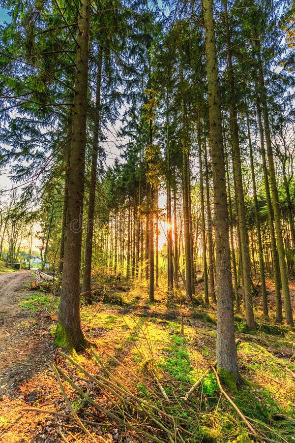 Forest wth pine trees royalty free stock photos