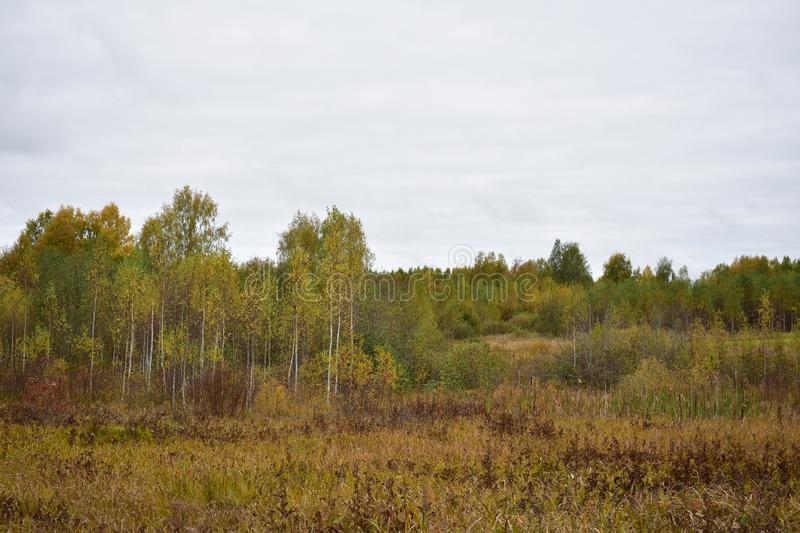 Forest young birch grove cheerfully green tall grass dark clouds in the sky Autumn has already painted nature in its autumn colors. Yellow, Golden orange. They royalty free stock image