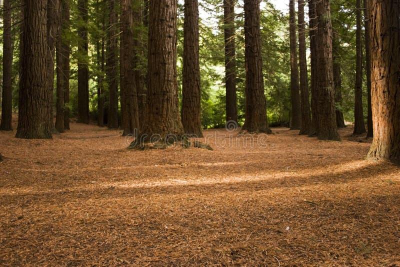 Foresta 03 del Redwood immagine stock