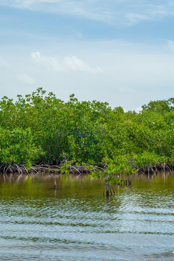 """Foresta acquatica della mangrovia nella biosfera di Sian Ka """" immagine stock libera da diritti"""