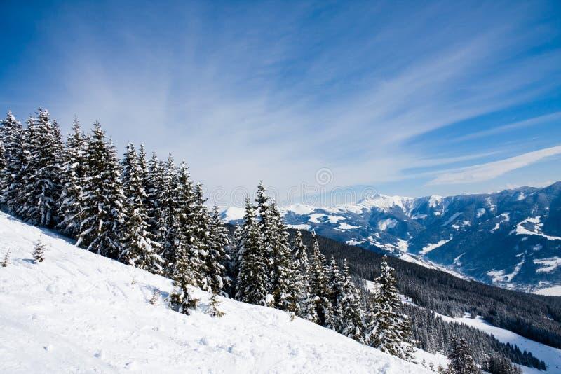 Foresta alpina del pino in inverno fotografia stock libera da diritti