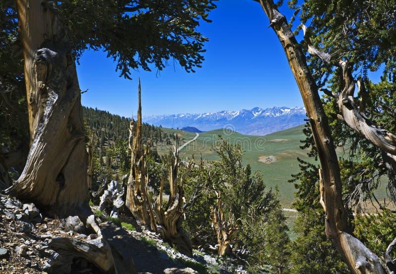 Foresta antica del pino di Bristlecone immagine stock libera da diritti