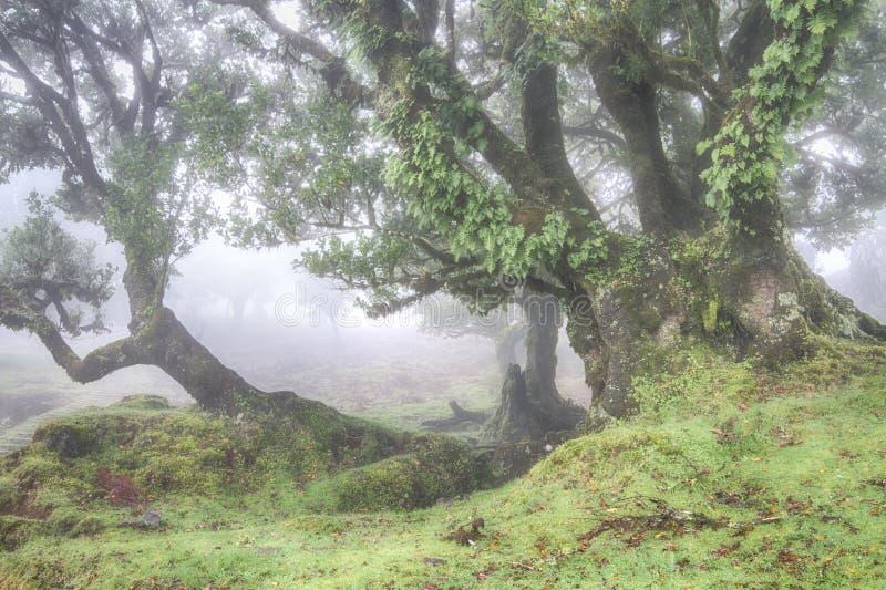 Foresta antica dell'alloro nella nebbia fotografia stock libera da diritti