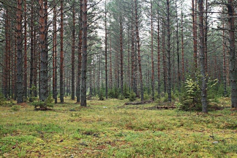 Download Foresta attillata densa fotografia stock. Immagine di poland - 55359476