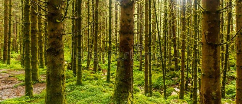 Foresta attillata soleggiata dell'albero fotografia stock