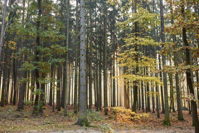 Foresta in autunno come una foresta ed ecosistema misti fotografia stock