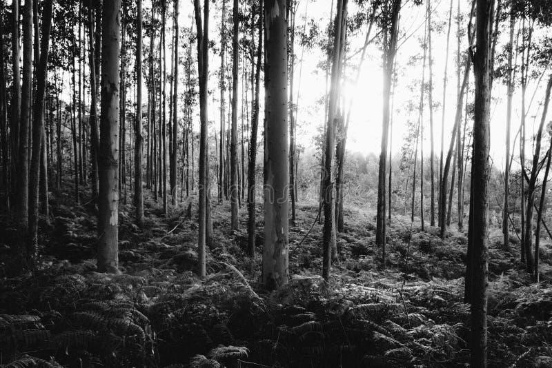 Foresta in in bianco e nero fotografie stock