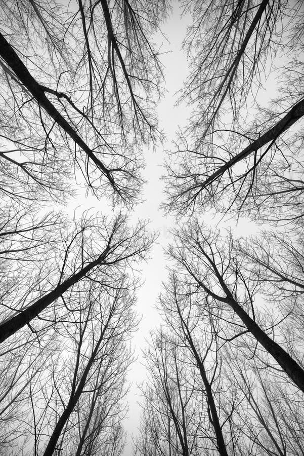 Foresta in bianco e nero degli alberi fotografati da sotto - l'estratto di effetto immagini stock