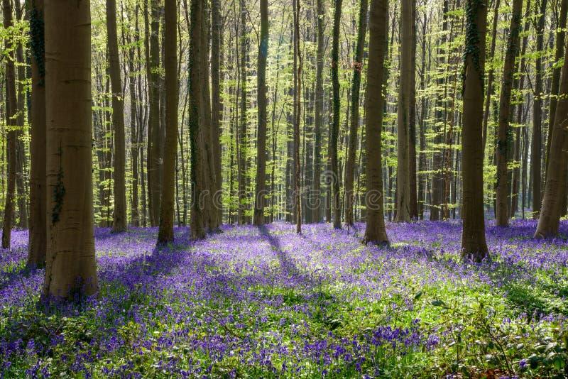 Foresta blu del faggio di primavera (4) fotografie stock libere da diritti