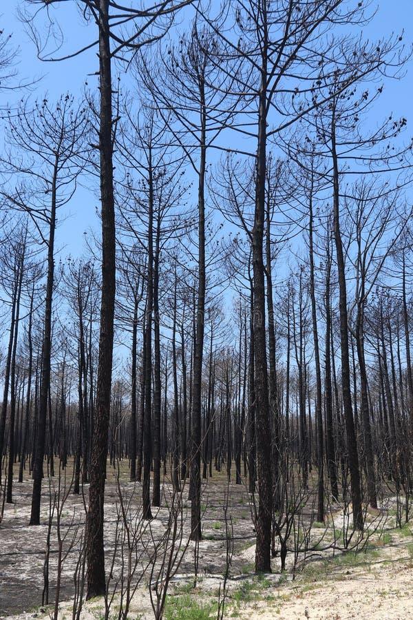 Foresta bruciata, Portogallo immagini stock