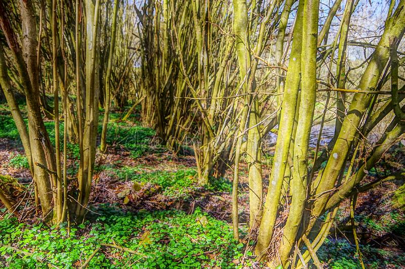 Foresta calva degli alberi in primavera immagine stock