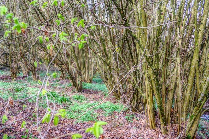 Foresta calva 2 degli alberi in primavera fotografie stock