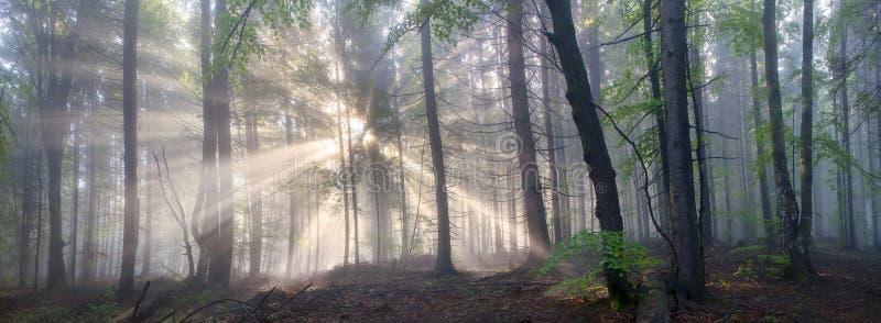 Foresta carpatica magica all'alba immagine stock libera da diritti