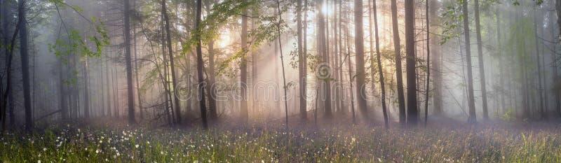 Foresta carpatica magica all'alba fotografia stock libera da diritti