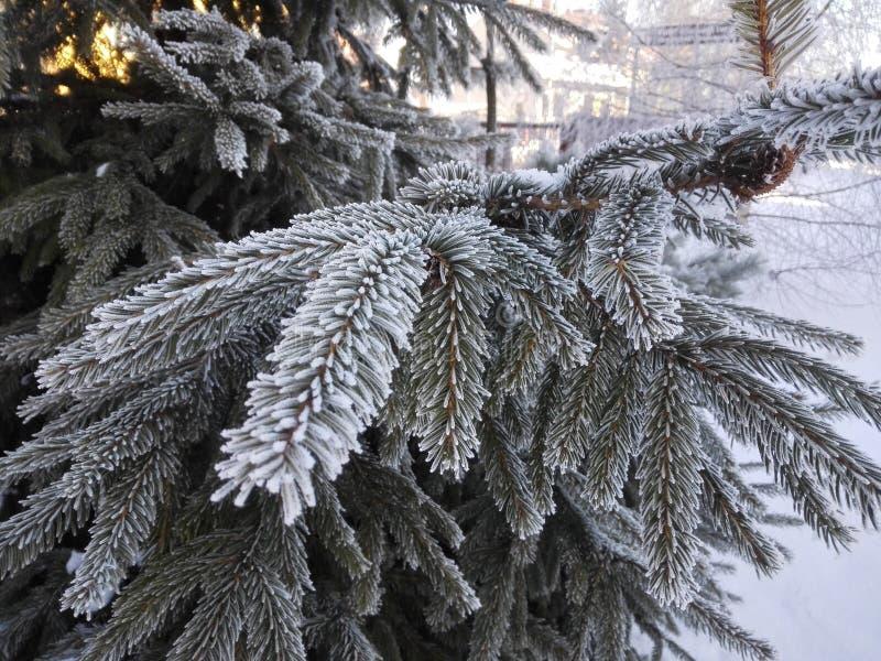 Foresta con abete nell'inverno con gli aghi glassati immagini stock libere da diritti