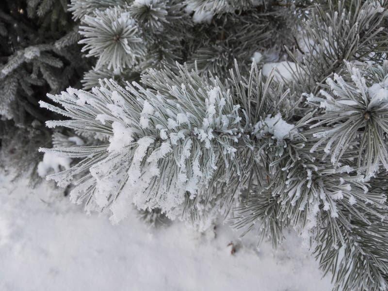 Foresta con abete nell'inverno con gli aghi glassati immagini stock