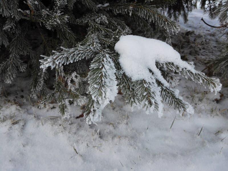 Foresta con abete nell'inverno con gli aghi glassati fotografia stock
