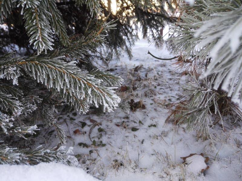 Foresta con abete nell'inverno con gli aghi glassati fotografie stock libere da diritti