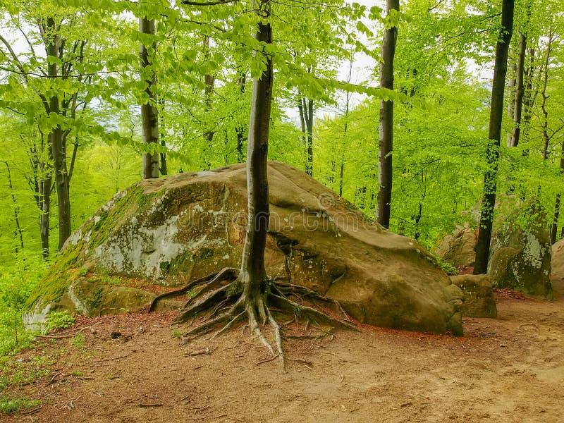 Foresta con gli affioramenti rocciosi, rocce di Dovbush del parco del paesaggio Carpathians, Ucraina fotografie stock libere da diritti