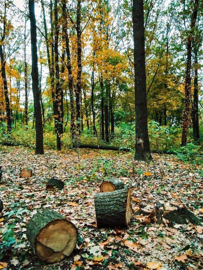 Foresta con gli alberi di abbattimento fotografia stock libera da diritti