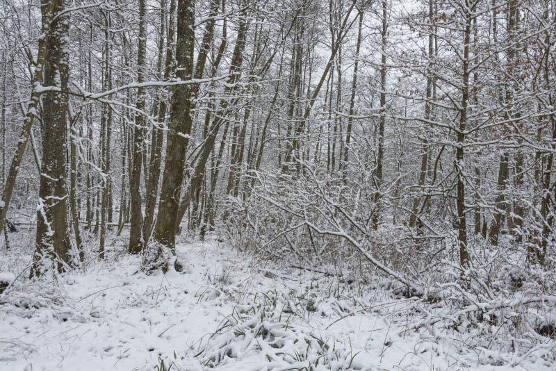 Foresta con gli alberi innevati fotografia stock