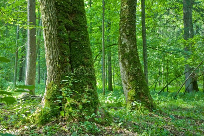 Download Foresta Con I Vecchi Alberi Di Acero Immagine Stock - Immagine di acero, erba: 3879299