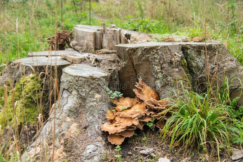 Foresta con il ceppo ed i funghi di albero fotografia stock