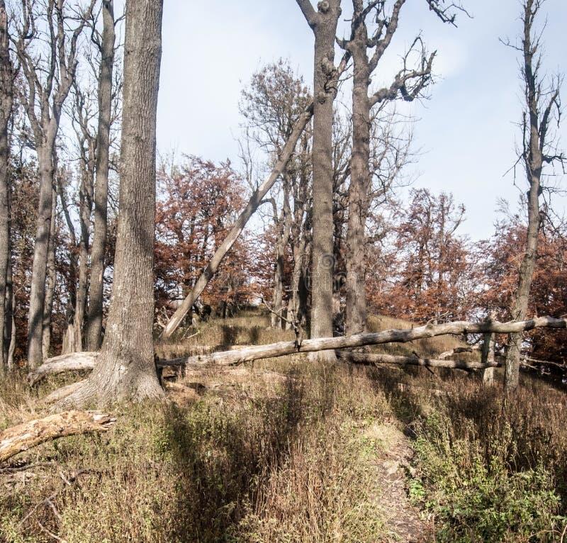 Foresta con la traccia di escursione sulla collina di Vysoka in montagne maschii di Karpaty in Slovacchia fotografia stock