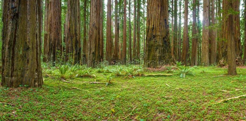 Foresta costiera della sequoia fotografia stock