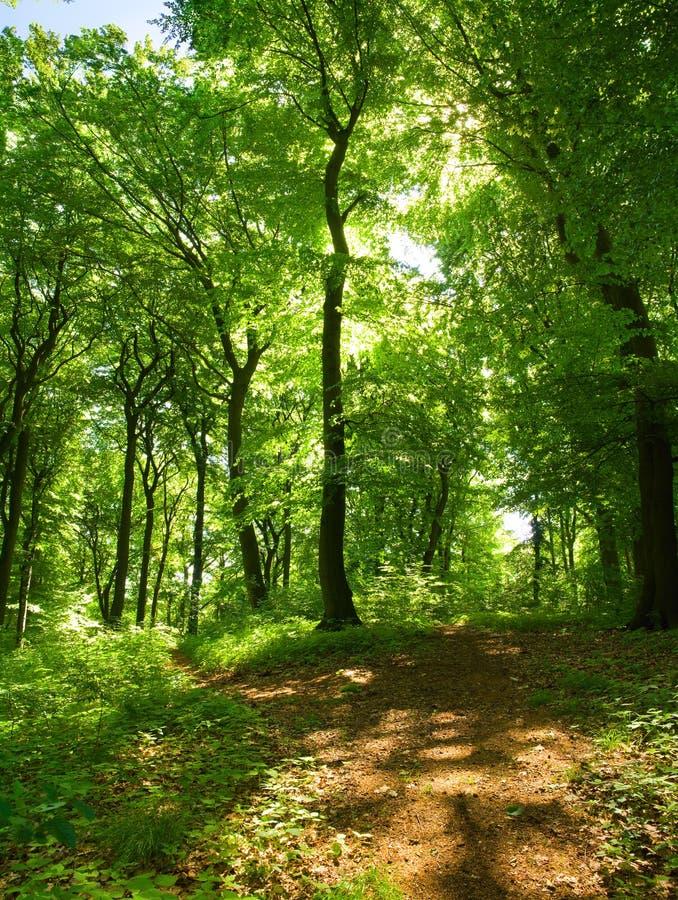 Foresta decidua immagine stock