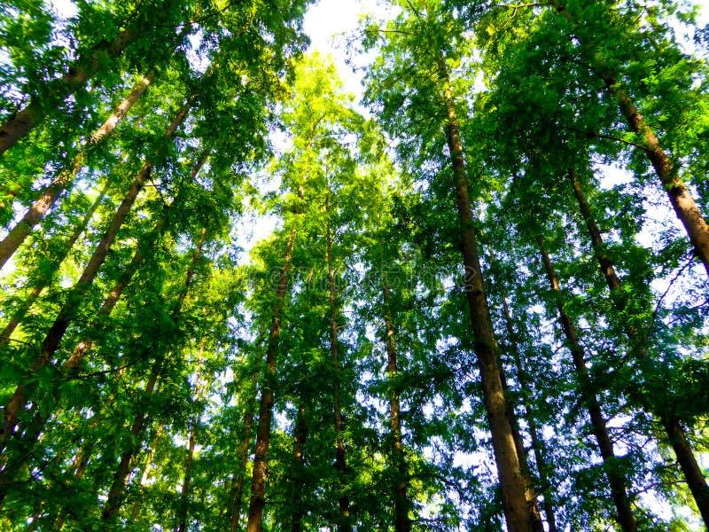 Foresta degli abeti della Cina dal paesaggio culturale del lago ad ovest di Hangzhou fotografia stock libera da diritti