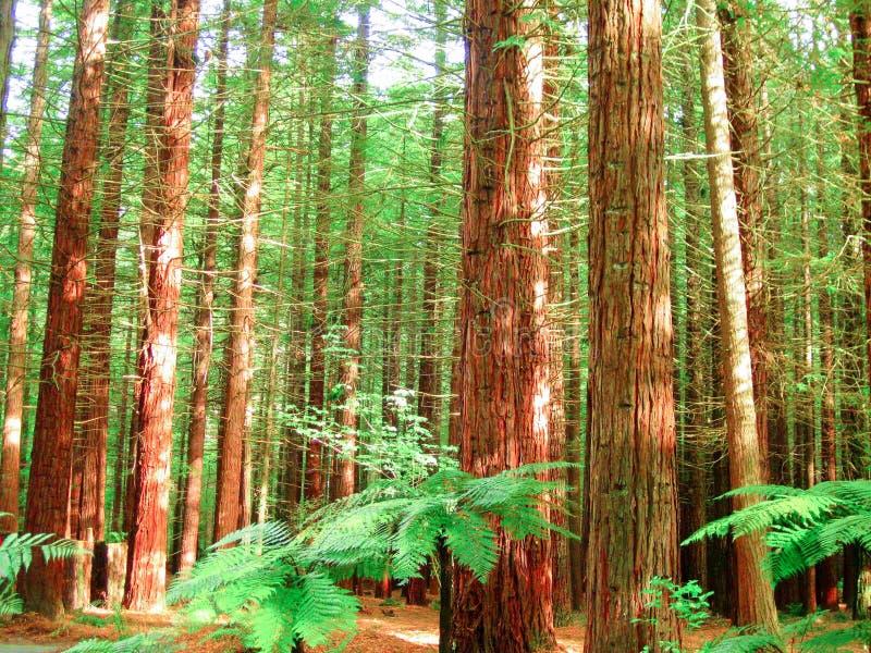 Foresta degli alberi della sequoia fotografia stock libera da diritti