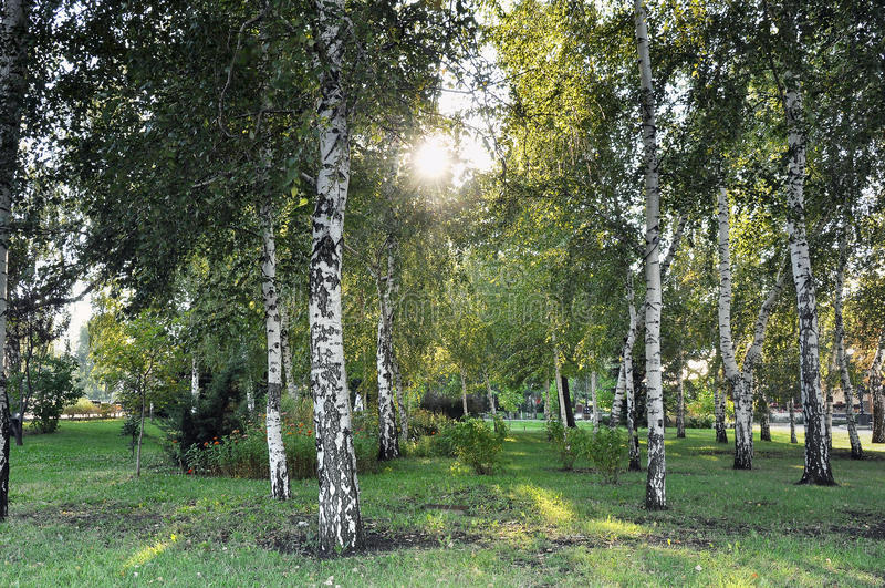 Foresta degli alberi di betulla fotografia stock libera da diritti