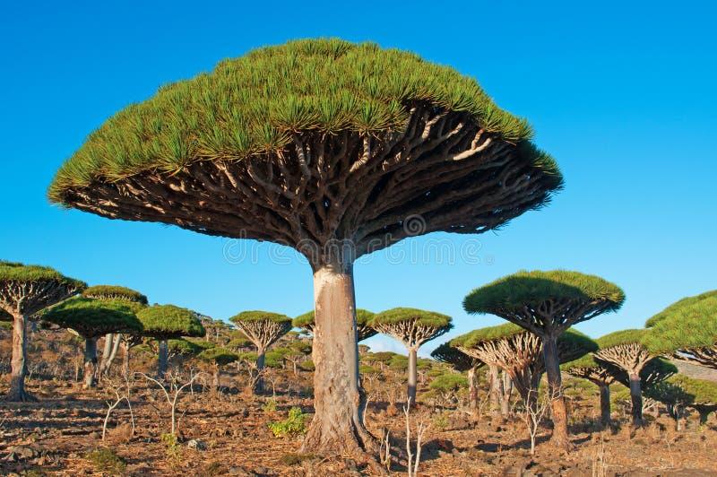 Foresta degli alberi di Dragon Blood al tramonto, socotra, Yemen immagine stock