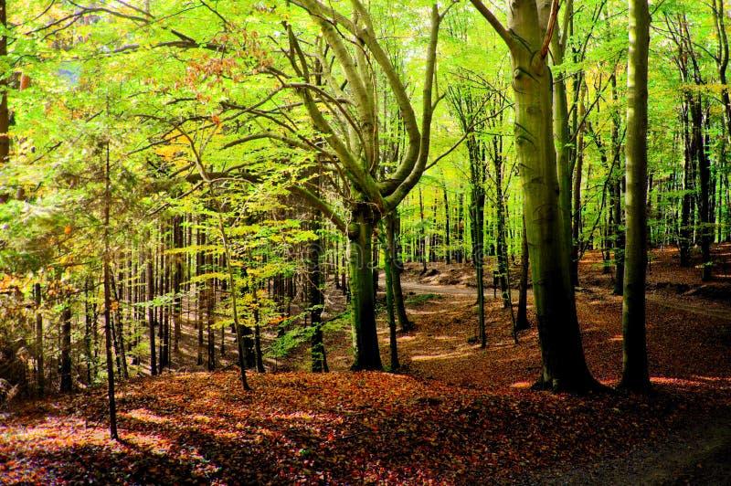 Foresta degli alberi di faggio all'autunno/alla luce del giorno di caduta immagini stock libere da diritti