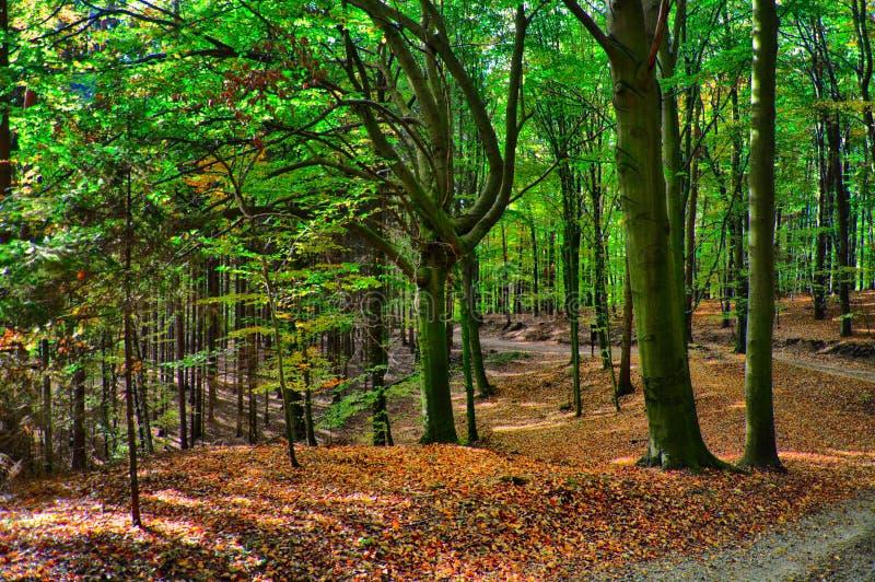 Foresta degli alberi di faggio all'autunno/alla luce del giorno di caduta immagine stock