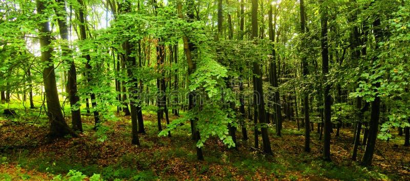 Foresta degli alberi di faggio a luce del giorno della molla fotografie stock