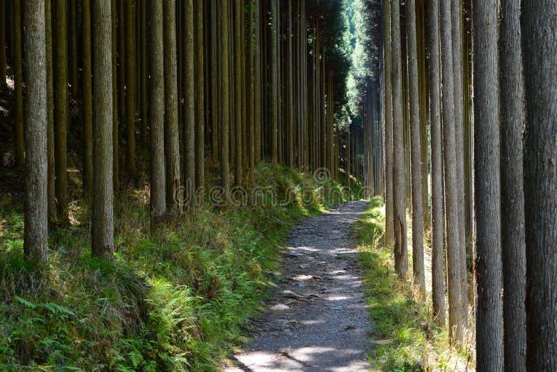Foresta degli alberi diritti di cryptomeria, o cedro giapponese, lungo il Kiyotaki alla traccia di Takao a Kyoto immagini stock