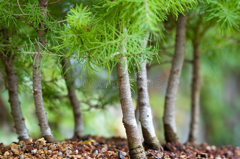 Foresta dei bonsai fotografie stock