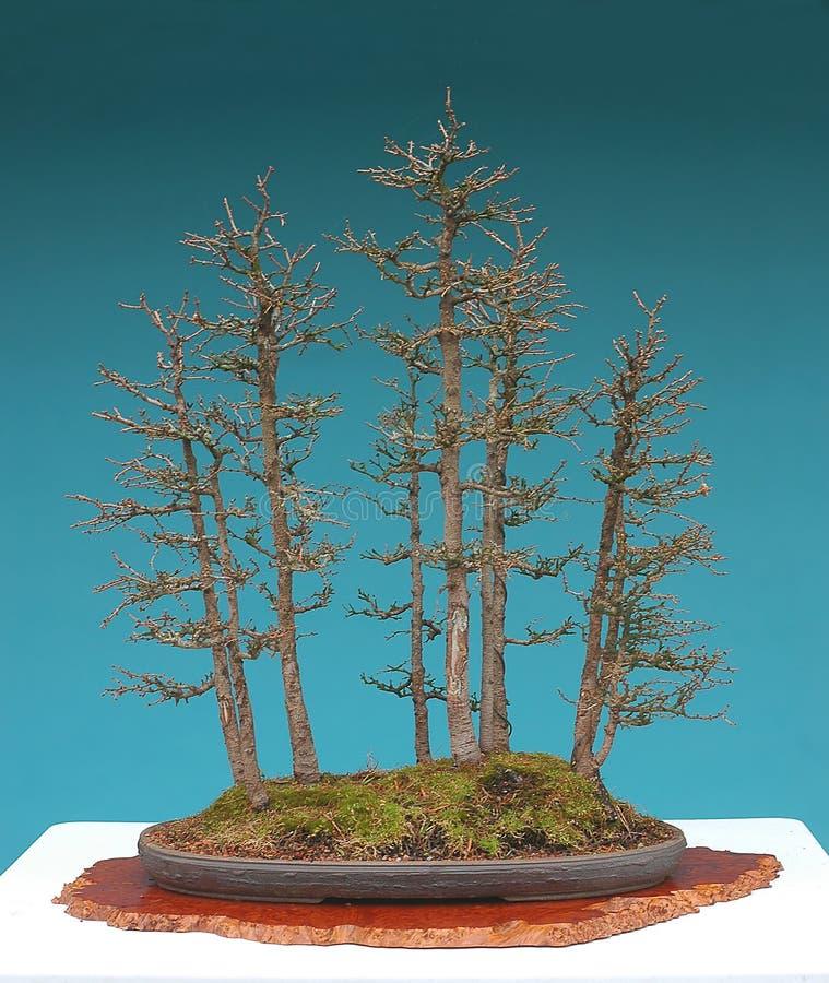 Foresta dei bonsai del larice americano immagini stock libere da diritti