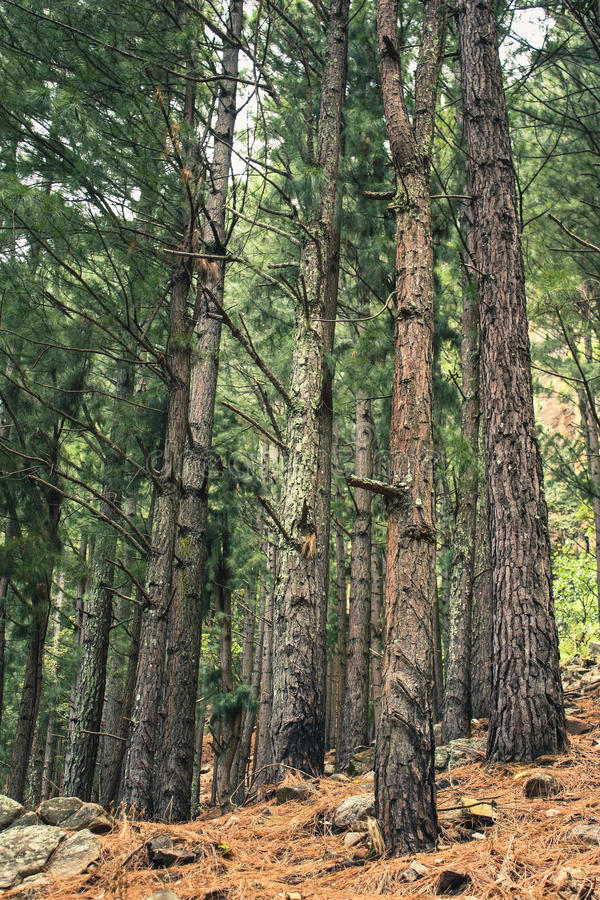 Foresta dei pini dell'albero di Brown fotografia stock
