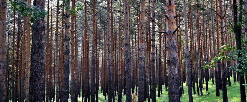 Foresta dei tronchi dell'abete fotografia stock