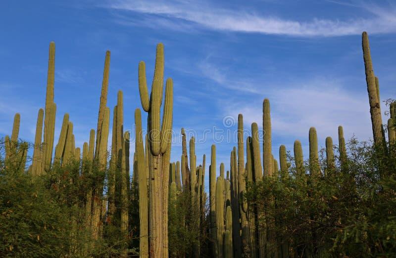 Foresta del cactus nel Messico fotografie stock libere da diritti