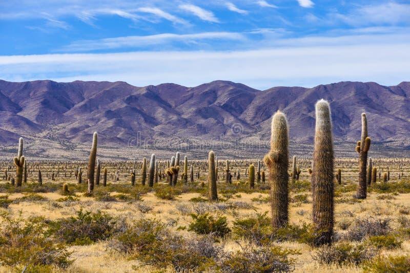 Foresta del cactus nel parco nazionale di los Cardones, Argentina fotografie stock libere da diritti