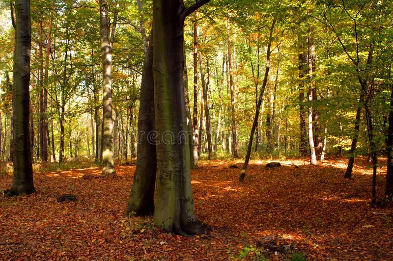 Foresta del faggio fotografia stock
