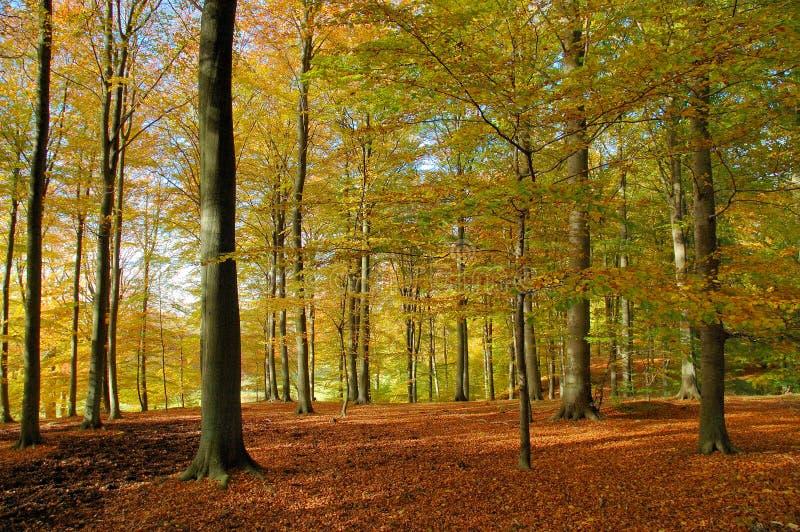 Foresta del faggio in autunno fotografia stock libera da diritti