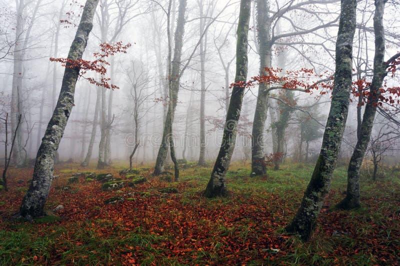 Foresta del faggio con nebbia fotografie stock